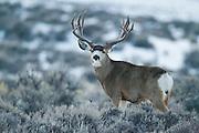 Trophy mule deer buck (Odocoileus hemionus)on winter range in Wyoming