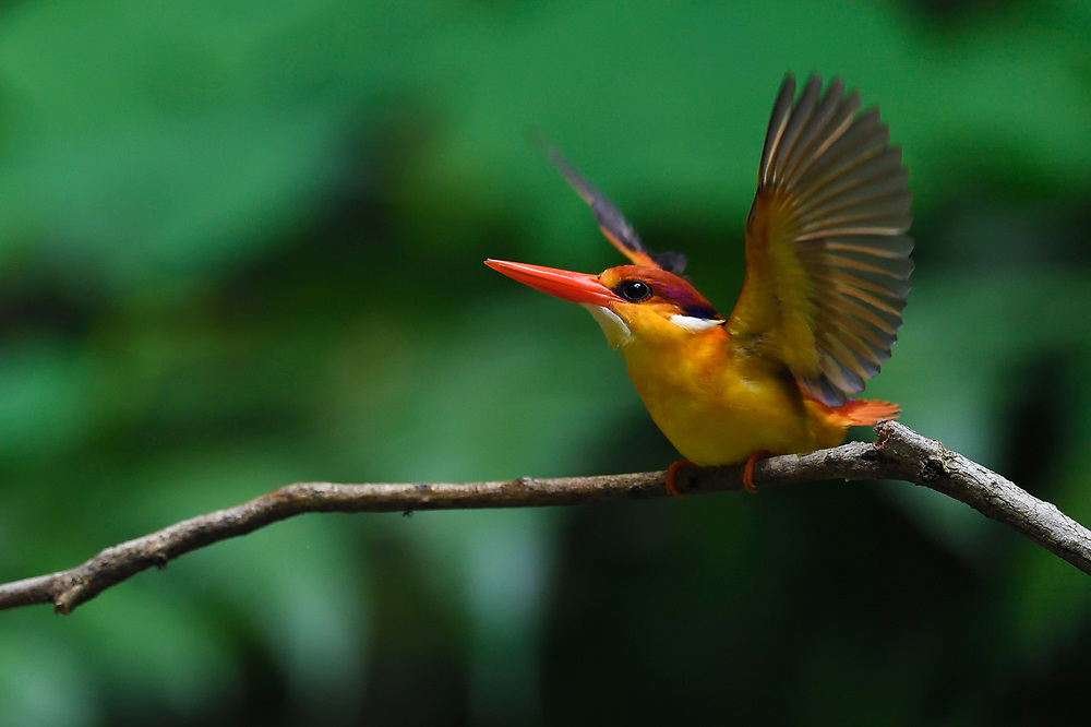 Oriental dwarf kingfisher bird, Ceyx erithacus, sitting on a branch at Tongbiguan nature reserve, Dehong Prefecture, Yunnan Province, China