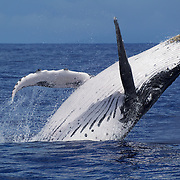 Humpback whale (Megaptera novaengliae) breaching on a sunny day with blue water