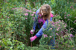 Staking asters in a border using a cane and string