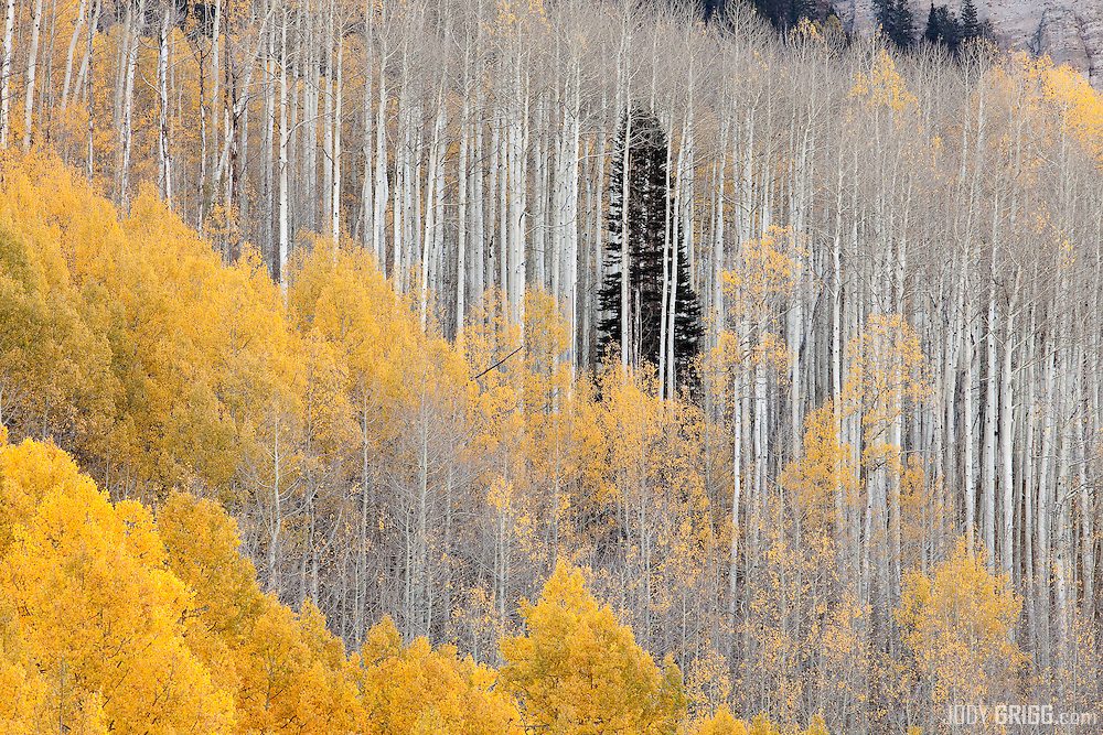 Lone evergreen stands amongst some bare aspens near Silver Jack reservoir, Uncompahgre National Forest, Colorado.