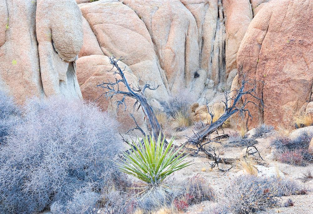 Weathered Pinyon Juniper, Yucca Plant, and Tumbleweeds Amongst Rocks at Joshua Tree National Monument, CA