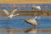 Three sandhill cranes (Grus canadensis) lift off from a marsh in the Bosque del Apache National Wildlife Refuge in New Mexico.