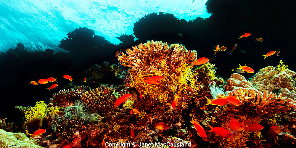 This dramtic underwater scene displays the stepping down of this reef in the Maldives. The shadows cast by the overhaning upper reef goes black when viewed at depth, but the strobes augment the daylight in the foreground, highlighting the Anthias fishes and Acropora corals.