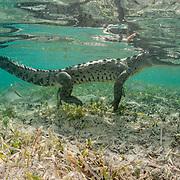American crocodile (Crocodylus acutus) underwater. Jardines de la Reina, Gardens of the Queen National Park, Cuba.