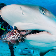 An invasive lionfish (Pterois volitans) is fed to a Caribbean reef shark (Carcharhinus perezi) off Grand Bahama Island, Bahamas. It was once thought sharks could be trained to feed on lionfish by feeding them speared lionfish which, so far, this has proved to be false.