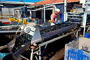 France, Languadoc and Roussillon.  Meze, mussel farming, sorting