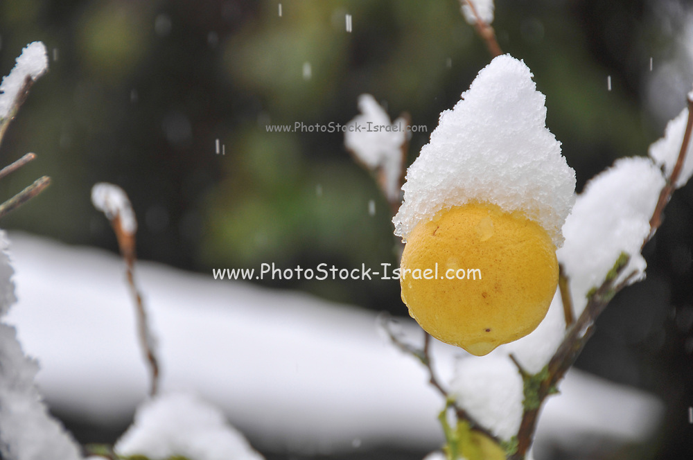 lemon fruit on a tree is covered by snow in a garden