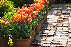 Pots of Tulipa 'Prinses Irene' lining a path in the brick garden at Glebe Cottage