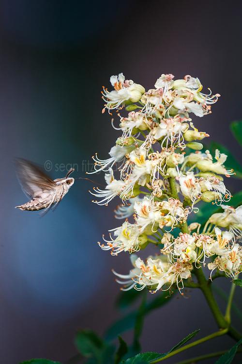 Hummingbird moth(White-lined sphynx) (Hyles lineata) on Texas Buckeye Tree (Aesculus glabra var. arguta) in flower, Texas Buckeye Trail, Great Trinity Forest, Dallas, Texas, USA.