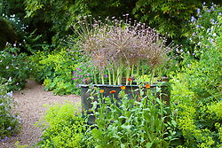 Allium schubertii in a copper container surrounded by Alchemilla mollis at Glebe Cottage
