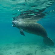 West Indian Manatee, (Trichechus manatus) Sub adult surfacing for air in freshwater spring. Florida.