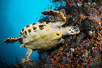 A Hawksbill Sea Turtle forages for food on a healthy reef wall.<br /> <br /> Shot in Indonesia