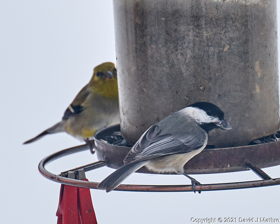 Black-capped Chickadee (Poecile atricapillus). Image taken with a Leica SL2 camera and 90-280 mm lens.