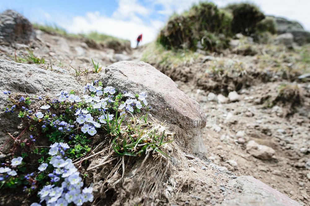 15 June 2016, Kazbegi (Stepantsminda), Georgia: Flowers on the hiking trail towards  the dormant stratovolcano of Mount Kazbek.