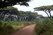 Ngorongoro Crater Road through Acacia tree forest, Tanzania, Africa