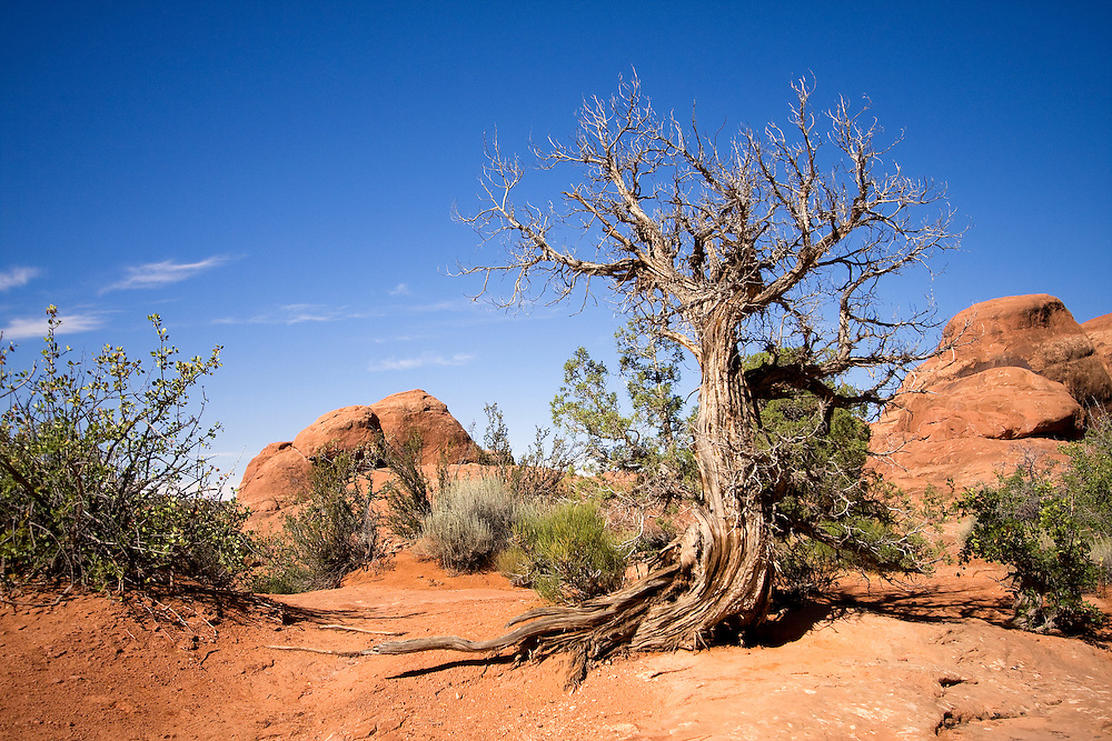 Cedar Tree in Fiery Furnace, Arches National Park, Utah.The Fiery Furnace is a collection of narrow sandstone canyons in Arches National Park in Utah, United States.
