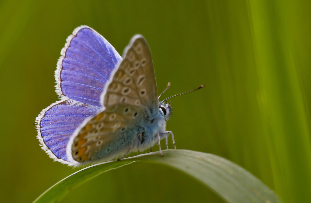 Butterfly_ Aricia agestis with half open wings resting on a leaf