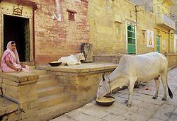 Asia, India, Rajasthan, Jaisalmer, Hindu woman wearing sari on porch of sandstone house near sacred cows