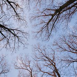 "Oak trees and sky.  Newburyport, MA. ""The Common Pasture."""