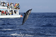 Hawaiian spinner dolphin or Gray's spinner dolphin, Stenella longirostris longirostris, jumping and spinning while visitors on whale watch boat look on, Kona, Hawaii ( the Big Island ), USA ( Central Pacific Ocean )