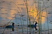 A pair of American coots (Fulica americana) swim among bulrush stalks as the sun sets over Lake Sammamish in Marymoor Park, Redmond, Washington.