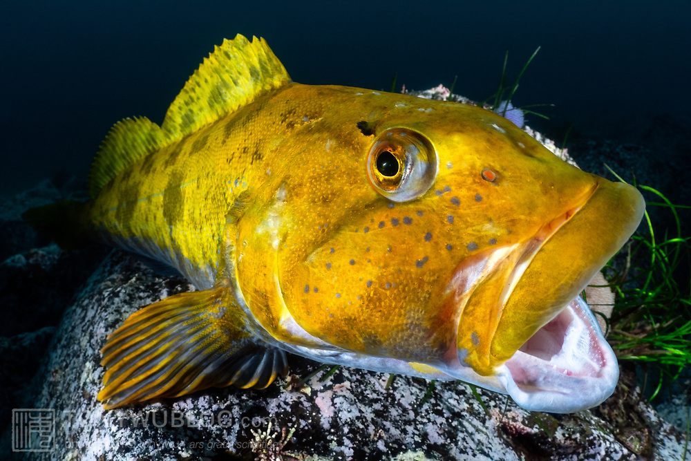 This is a male fat greenling (Hexagrammos otakii) opening his mouth, which is a behavior that many fish exhibit. This individual was watching over several clutches of developing eggs, which were situated behind the fish and thus obscured from view in this image. The brilliant yellow-orange hue is indicative of breeding season. These fish are normally drab in color.