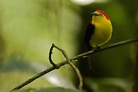 Wire-tailed Manakin (Pipra filicauda).Male on his calling perch..Tiputini Biodiversity Station, Amazon Rain Forest, Ecuador.
