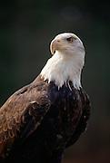 Eagles, Alaska<br />