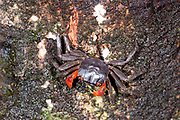 Forest Crab, Gecarcinidae sp., on tree, Masoala National Park, Madagascar, largest of the island's protected areas, UNESCO World Heritage Site, Masoala peninsula is exceptionally diverse due to its huge size, and variety of habitats