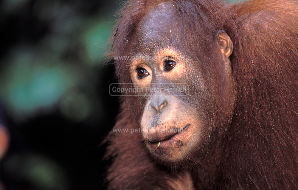 Female Orang Utan at Sepilok Orangutan Rehabilitation Centre.