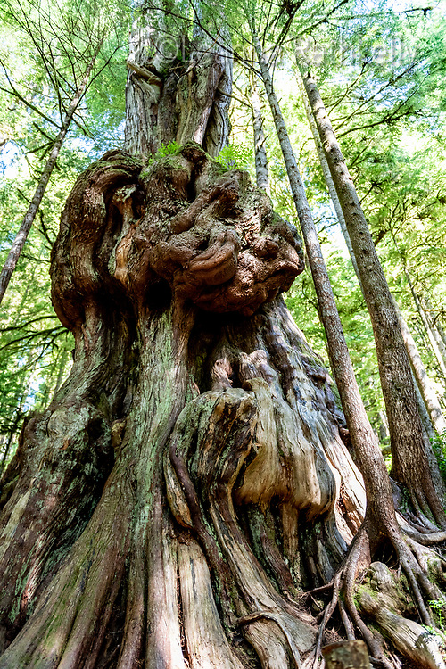 The ancient trees at Avatar Grove near Port Renfrew, BC on Vancouver Island include centuries-old cedars and firs.