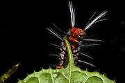 Wild Silk Moth Caterpillar (Saturniidae)<br /> Yasuni National Park, Amazon Rainforest<br /> ECUADOR. South America