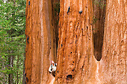 Giant Sequoias (Sequoiadendron giganteum) and hiker, Trail of 100 Giants, Giant Sequoia National Monument, California