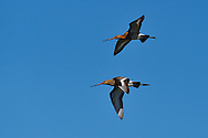 Black-tailed godwit, Limosa limosa, Nemunas River Delta, Lithuania