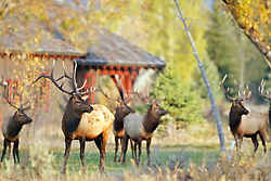 Suburban Bull Elk , Jackson Hole Wyoming. A herd of bull elk shortly after the rut reunite friendships and resume the camaraderie of the bachelor herd.