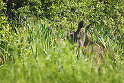 "Young moose (Alces alces) running through boggy wetland overgrown with willows, reeds and cattails, nature reserve ""Augstroze"", Vidzeme, Latvia Ⓒ Davis Ulands 
