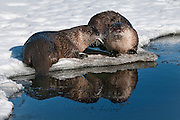 A pair of river otters along Flat Creek in Jackson Hole, WY in mid-winter.