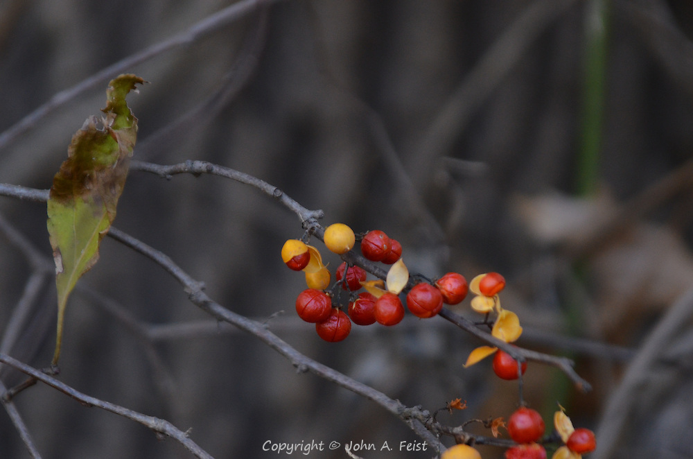 These berries are just emerging from their yellow covering as the trees are losing their leaves.  Hillsborough, NJ