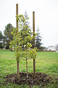 A freshly planted tree stands after a tree planting event at Murphy Park in Milpitas, California, on February 15, 2014. Volunteers planted 50 trees at both Murphy Park and Cardoza Park. (Stan Olszewski/SOSKIphoto)