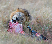 Male lion feeding on akilled wilderbeest in Maasai Mara, Kenya.