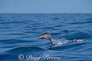 pantropical spotted dolphin, Stenella attenuata, jumping in boat wake, South Kona, Hawaii ( the Big Island ), United States ( Central Pacific Ocean )