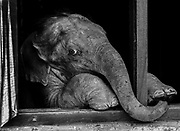 An orphaned baby elephant looks out of its enclosure at the IFAW/WTI Center for Wildlife Rehabilitation and Conservation in Kaziranga, India. The orphaned elephant is currently undergoing rehabilitation in preparation for release after it was separated from its mother during an flood.