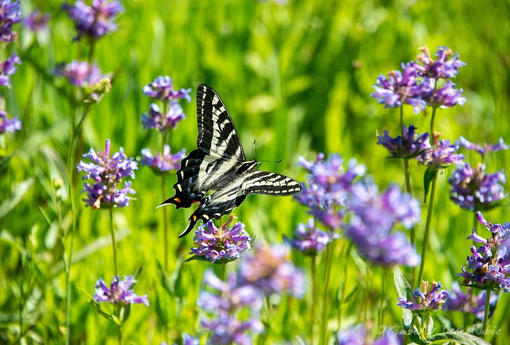 Pale Swallowtail Butterfly in a high alpine meadow with Meadow Penstemon in bloom in the Western Sierra Nevada near the Lake Tahoe, Soda Springs, California.