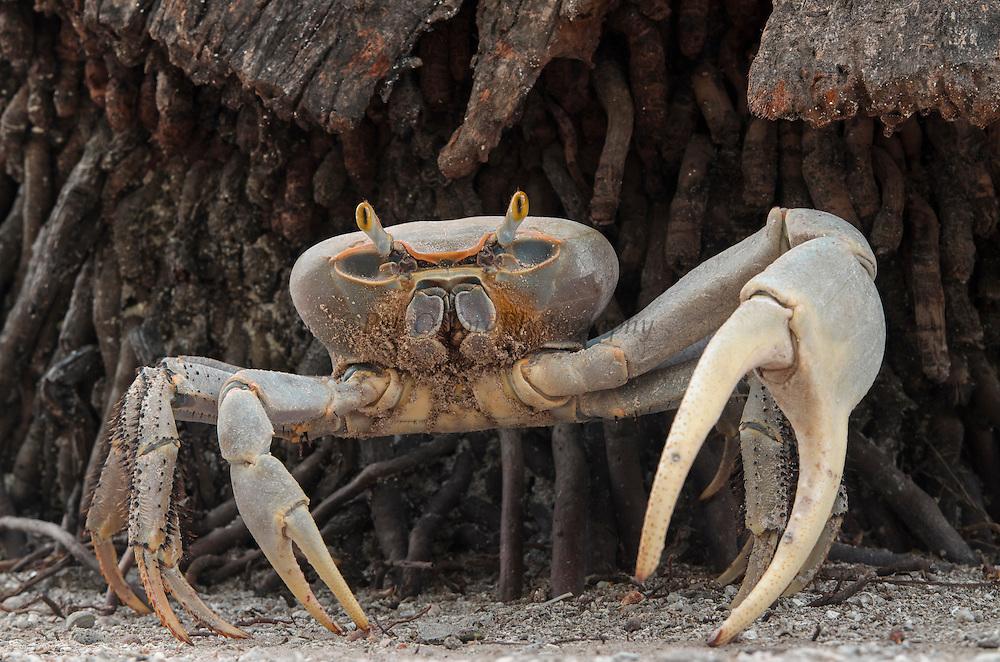 Blue land crab (Cardisoma guanhumi) <br /> Banco Chinchorro, <br /> Offshore Atoll<br /> Yucatan Peninsula<br /> Mexico<br /> Central America