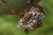 Yellow Paper Wasp (Polistes versicolor)  INTRODUCED SPECIES<br /> Puerto Ayora, Santa Cruz Island, GALAPAGOS ISLANDS<br /> ECUADOR.  South America
