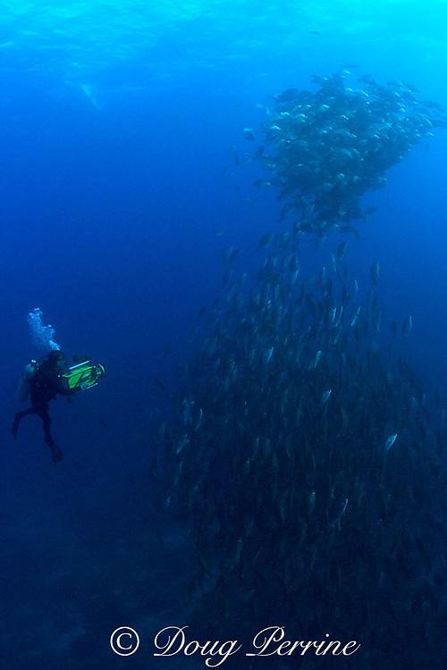 Howard Hall films spawning rush of dog snappers, Lutjanus <br /> jocu, in spawning aggregation, Gladden Spit & Silk Cayes Marine Reserve, off Placencia, Belize, Central America ( Caribbean Sea )