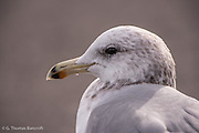 A head shot of a glaucous-winged gull.