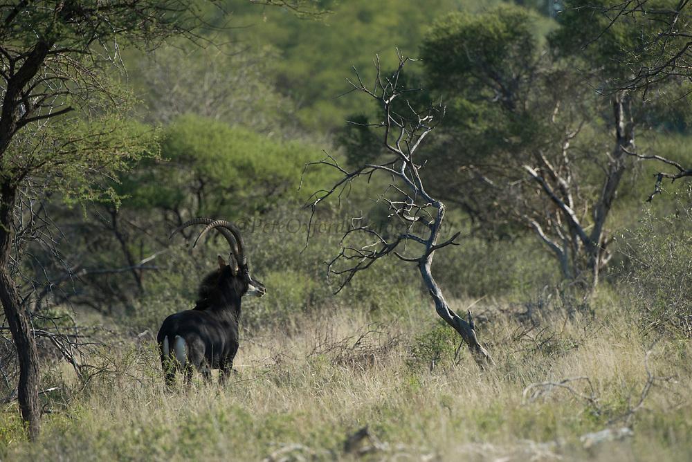 Sable Bull (Mr Bojangles)<br /> Camp #2<br /> Exotic Game Breeders / Eden Farm<br /> Limpopo Province<br /> South Africa