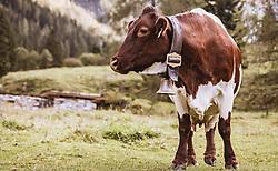 THEMENBILD - eine Milchkuh auf der Palfner Alm, aufgenommen am 09. Spetember 2018 in Rauris, Österreich // a milk cow at the Palfner Alm, Rauris, Austria on 2018/09/09. EXPA Pictures © 2018, PhotoCredit: EXPA/ JFK